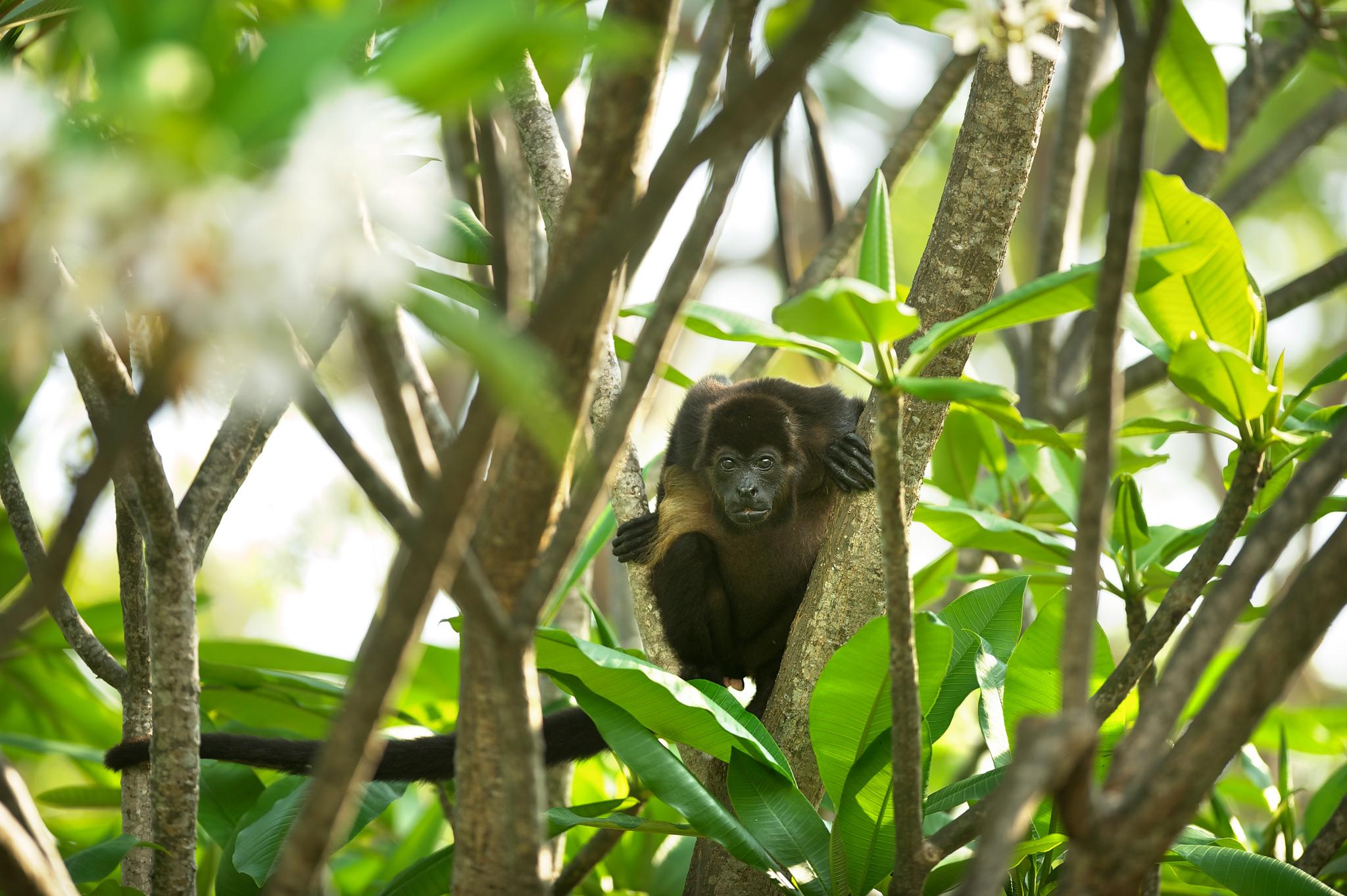 Howler Monkey at Florblanca